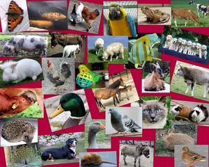 Collage: Haustiere - Hund, Katze, Maus, Rind, Kuh, Huhn, Hahn, Wellensittich, Papagei, Igel, Pferd, Fohlen, Schwein, Sau, Welpen, Fisch, Zierfisch, Schmetterling, Gans, Ente, Taube, Esel, Pfau, Haustier, Haustiere, Tier, Vogel, Schaf, Ziege, Frosch, Kaninchen, Zwergkaninchen, Meerschweinchen, Suchbild, Collage, DaF