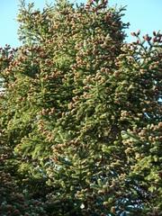 Fichte#1 - Fichte, Gemeine Fichte, Kieferngewächs, Nadelbaum, immergrün, Nadeln, Blüten, Blütenknospen