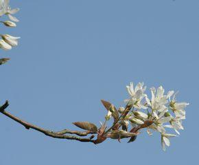 Felsenbirne blühend - Amelanchier lamarckii, Blüte, Blütenstand, weiß, Rosaceae, Rosengewächs, Blütenbecher, Zierstrauch, Heilpflanze