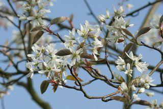 Felsenbirne blühend #2 - Amelanchier lamarckii, Blüte, Blütenstand, weiß, Rosaceae, Rosengewächs, Blütenbecher, Zierstrauch, Heilpflanze