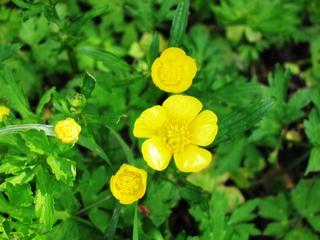Hahnenfuß-Blüten - Hahnenfuß, Wiese, Blume, Wiesenblume, Hahnenfußgewächs, Wald, Butterblume, gelb, giftig, fünf