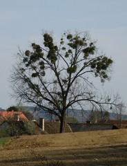 Mistel am Baum - Misteln, Baum, Sandelholzgewächs, Halbschmarotzer, immergrün, Baum