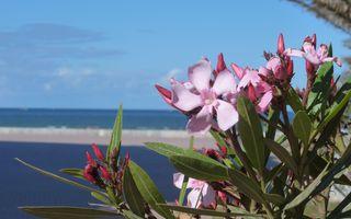 Oleander - Oleander, Zierpflanze, rosa, Blüten, giftig, Rosenlorbeer, Hundsgiftgewächs