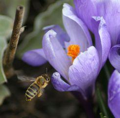 Krokus und Bienchen - Krokus, Biene, Frühling