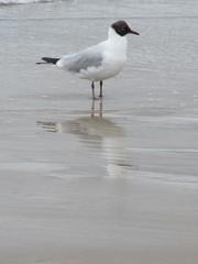 Lachmöwe - Möwe, Lachmöwe, Ostseetiere, Nordseetiere, Ostseevögel, Nordseevögel, Vögel
