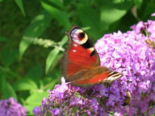 Tagpfauenauge - Schmetterling, Tagpfauenauge, Flieder, Schmetterlingsflieder