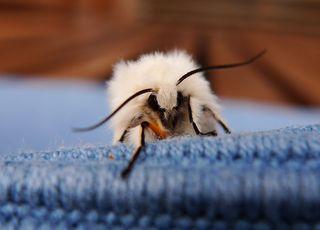 Weißer Bär # 1 - Lepidoptera, Spilosoma menthastri, Arctiidae, Schmetterling, Falter, weiße Tigermotte, Spilosoma lubricipeda, Nachtfalter