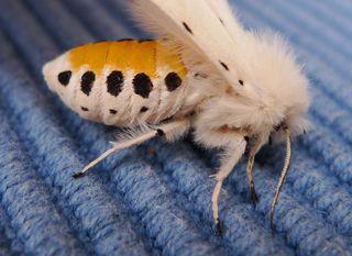 Weißer Bär # 3 - Lepidoptera, Spilosoma menthastri, Arctiidae, Schmetterling, Falter, weiße Tigermotte, Breitflügeliger Fleckleibbär, Spilosoma lucricipeda, Nachtfalter