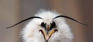 Weißer Bär # 4 - Lepidoptera, Spilosoma menthastri, Arctiidae, Schmetterling, Falter, weiße Tigermotte, Breitflügeliger Fleckleibbär, Spilosoma lucricipeda, Nachtfalter, Kopf, Fühler