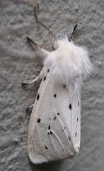 Weißer Bär # 5 - Lepidoptera, Spilosoma menthastri, Arctiidae, Schmetterling, Falter, weiße Tigermotte, Breitflügeliger Fleckleibbär, Spilosoma lucricipeda, Nachtfalter