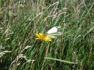 Schmetterling - Schmetterling, Falter, Helgoland, Insekten, Wiese, Blume, Gras