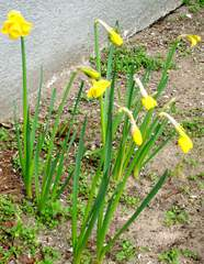 Osterglocken - Osterglocke, Osterglocken, blühen, Blüte, Frühblüher, Frühjahr, Frühling, gelb, Knospe, Narzisse