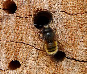 Gehörnte Mauerbiene - Wildbiene, Insekten, Bienen, Biene, Hautflügler, Osmia cornuta