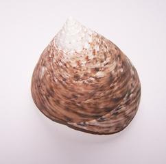 Kreiselschnecke #1 - Weichtier, Schnecke, Kreiselschnecke, Trochidae, Gehäuse, Schneckenhaus, spiralförmig, gewunden, Kalk, eins