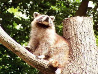 Waschbär - Waschbär, Wildtier, Zootier, Säugetier, Kleinbär, Raubtier, Fell, Tatzen, Schreibanlass
