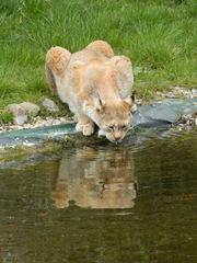 Luchs#1 - Luchs, Wildkatze, Wildtier, Raubtier, Raubkatze, Pinselohren, Tierpark, trinken