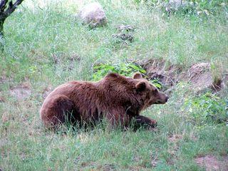 liegender Braunbär - Bär, Braunbär, Raubtier, Pelz, zottelig, braun, Wiese, liegen, ausruhen, Fell, Säugetier, brummen