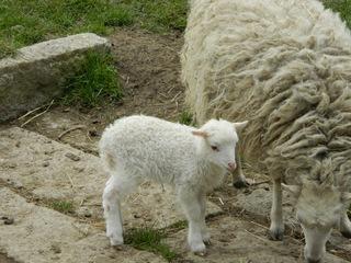 Lamm mit Mutterschaf - Schaf, Lamm, Tierpark