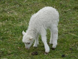 Lamm - Schaf, Lamm, Lämmchen, fressend, Gras, Tierpark, Nutztier, Wolle, Säugetier, Haustier, Vierbeiner
