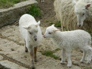 Lämmer - Schaf, Lamm, Lämmer, Tierpark, Nutztier, Wolle, Haustier, Vierbeiner, Säugetier