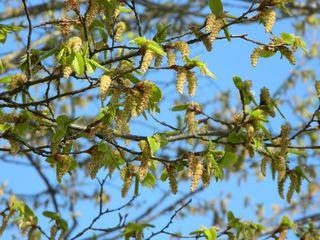 Birke - Birke, Betula, Laubbaum, Baum, Blüte, Birkengewächs, Pionierpflanze, Blüten, Blütenkätzchen