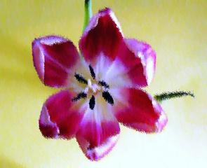 Tulpenblüte Pastell - Tulpe, Blüte, Tulpenblüte, blühen, Kontrast, magenta, rosa, Stempel, Staubgefäß