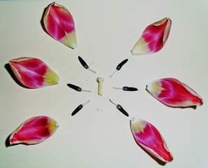 Tulpenblüte #2 - Tulpe, Blüte, Tulpenblüte, blühen, Kontrast, magenta, rosa, Stempel, Staubgefäß