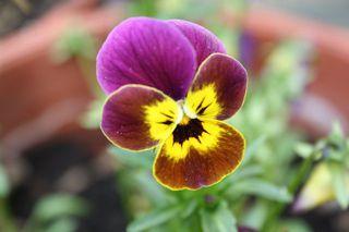 Blüte eines Hornveilchens - Hornveilchen, Farbkontrast, lila, gelb, Blüte, Pflanze, Garten