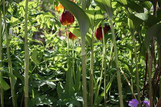 Gartenimpression - Garten, Gewächse, Blumen, Tulpen, Licht, Grün