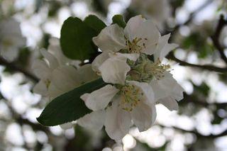 Apfelbaumblüte#2 - Nutzpflanze, Garten, Gartenbau, Frühling, Apfel, Apfelblüte, Knospe, Blüte, Blütenblatt, Kronblatt, Staubblatt, fünf