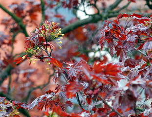 Blüte des Rotahorn - Blüte, blühen, Ahorn, Rotahorn, Frühling, Laubbaum, rot, Kontrast