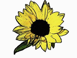 Blüte der Sonnenblume - Blüte, Sonnenblume, blühen, Helianthus annuus, gelb, Korbblütler, Zeichnung