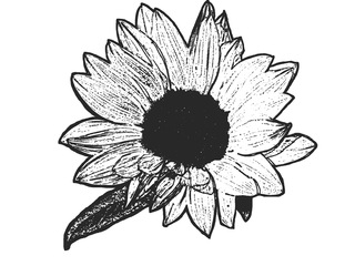 Blüte der Sonnenblume sw - Blüte, Sonnenblume, blühen, Helianthus annuus, Korbblütler, ausmalen