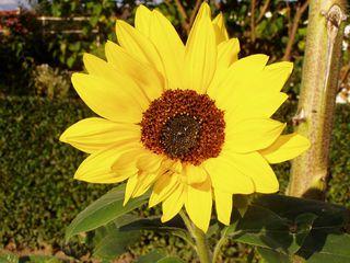 Blüte der Sonnenblume - Blüte, blühen, Sonnenblume, gelb, Helianthus annuus, Korbblütler
