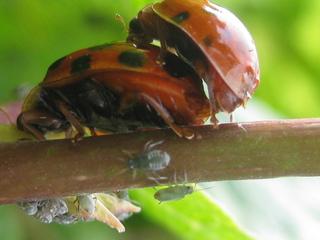 Marienkäfer bei der Paarung - Insekten, Käfer, Marienkäfer, Siebenpunkt, Paarung, Fortpflanzung, Kopulation, Nützling, Futter, Läuse, rot