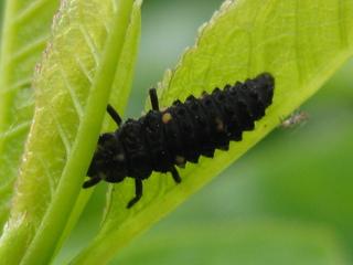 Marienkäferlarve - Insekten, Frühjahr, Larven, Marienkäfer, Entwicklungsstadium