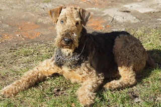 Airedale Terrier - Airedale, Terrier, Hund, liegend, trauriger Blick, Haustier