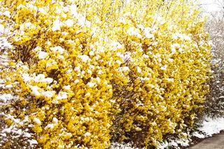Forsythienhecke - Forsythie, Hecke, Blüte, blühend, Neuschnee, Osterstrauch