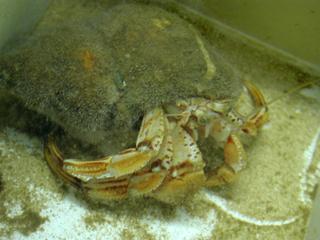 Einsiedlerkrebs - Krebs, Krebstiere, Crustacea, Meer, Ostsee, Nordsee, Einsiedlerkrebs, Muschel, Zangen, kneifen
