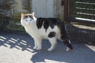 Hauskatze - Hauskatze, Katze, weiß, fleckig, Haustier