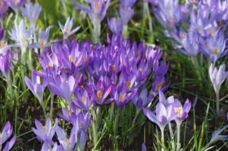 Krokusblüten - Krokus, Frühblüher, Frühling, Schwertliliengewächs, winterhart, Blütenstempel