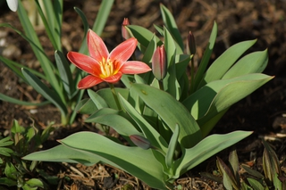 Tulpe rot - Frühling, Frühjahr, Frühblüher, Tulpe, Blüte, Zwiebelgewächs, rot