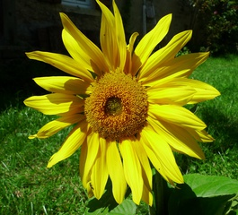 Sonnenblume - Sonnenblume, Blume, Spätsommer, Herbst, Korbblütler, Blüte, gelb