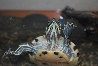 Gelbbauch-Schildkröte - Schildkröte, Gelbbauchschmuckschildkröte, Zoo, Panzer, langsam, gelb, grün, Pflanzenfresser, Reptil, langsam, Keratin, Schildpatt, Artenschutz, Terrarium, Wasser, schwimmen