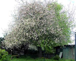 Apfelbaum in voller Blüte - Apfelbaum, Kernobstgewächs, Rosengewächs, Obst, Frucht, Frühling, Frühjahr, Blüte, weiß, rosa, blühen, Baumblüte, Blüten