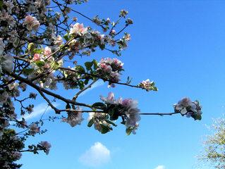 Apfelblüten - Apfelbaum, Apfelblüte, Baumblüte, Zweig, Kernobstgewächs, Rosengewächs, Obst, Frühling, Frühjahr, Blüte, Blüten, weiß, rosa, blühen, Garten, Baum