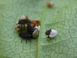 Marienkäferlarven beim Schlüpfen - Frühjahr, Insekten, Marienkäfer, Larven, Eier, schlüpfen, Nachwuchs