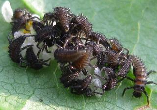 hier wimmelt was... - Frühjahr, Marienkäfer, Larven, Eier, schlüpfen, Insekten, Nachwuchs