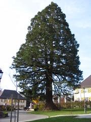 Mammutbaum #1 - Sequoia, Mammutbaum, kiefernartig, Zypressengewächs, Pyrophyten, hoch, immergrün, Wuchsform, Solitäre, solitär
