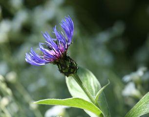Kornblume - Blüte, Korbblütengewächs, Blüte, blau, Blume, Kornfeld, Naturschutz, Heilpflanze, einjährig, Centaurea cyanus
